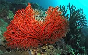 korall4